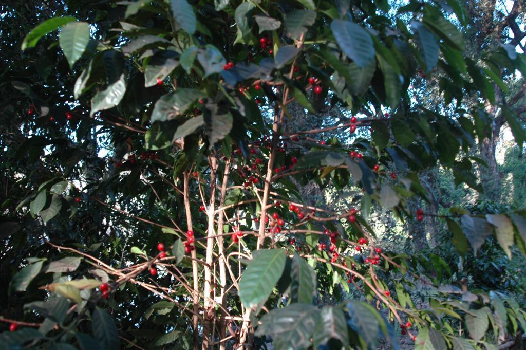 046._Coffee_in_undergrowth.JPG