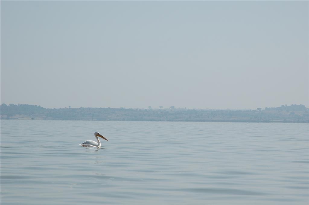 064._White_pelican.JPG