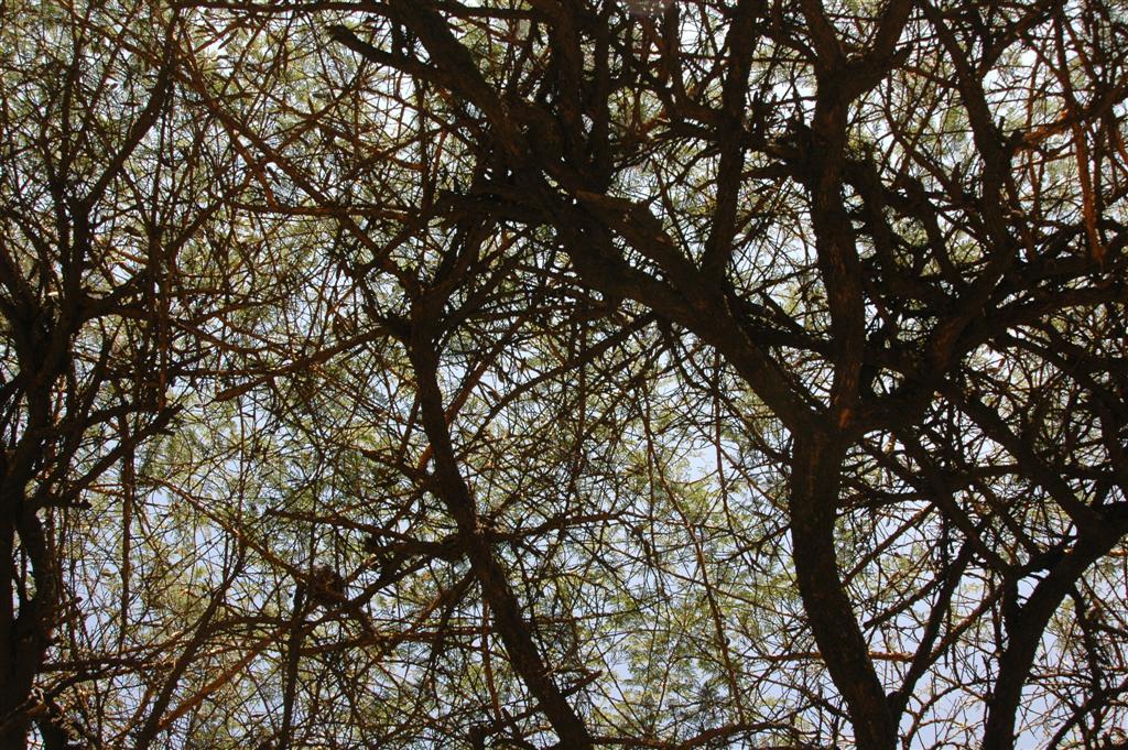 170._Acacia_abyssinia_with_its_horizontal_canopy.JPG
