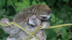 three-toed-sloth_2