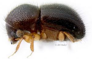 Teddy Bear Beetle