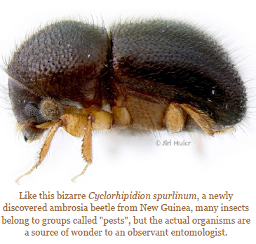 cyclorhipidion-spurlinum