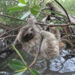 0920-baby-pygmy-sloth