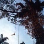 Figure 1 (left). Single rope techniques in a Ceiba pentandra tree