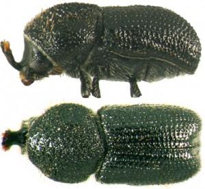 Cactopinus n. sp.