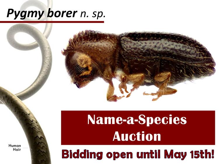 Species for auction - Hypothenemus